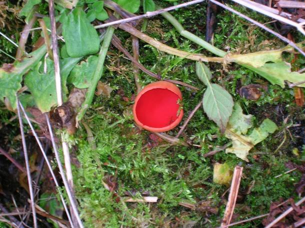 Scarlet_Elf_Cup_fungus